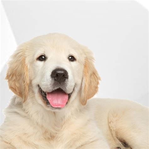 golden retriever ichthyosis treatment the disease