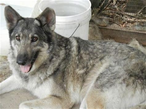 german shepherd wolf mix non wolfdogs mistaken identity