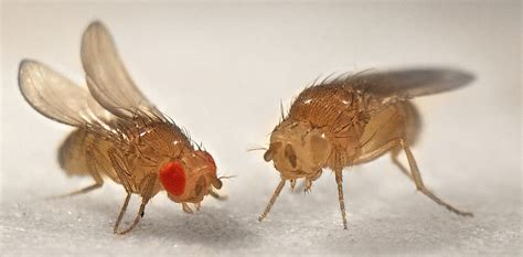 fruit fly size animals in research drosophila the fruit fly
