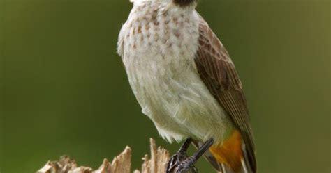 Vitamin Songvit Burung Kutilang Sooty Headed Bulbul Pycnonotus