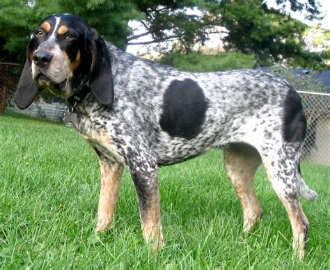 blue hound bluetick coonhound