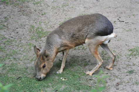 de mara a mara mara zoogdier wikipedia