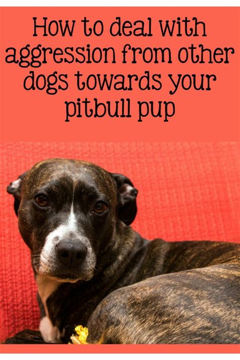aggressive towards puppies pitbull puppy tips addressing aggression