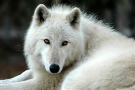 arctic wolf puppies the gallery for gt high content wolfdog