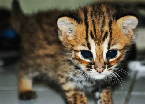 Sepasang Baby Blacan Kucing Hutan daftar harga kucing blacan terbaru agustus 2018