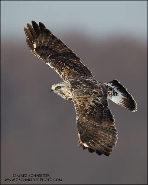 rough legged hawk index of gallery3 var albums birds raptors rough legged hawk