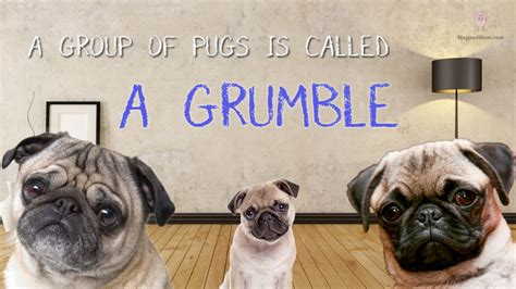 a grumble of pugs 10 random facts that will tickle your fancy slapped ham