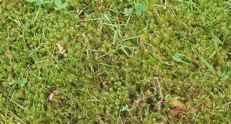 how to get rid of moss in a lawn yard pinterest