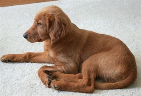 setter dog short hair short hair puppy picture of a irish setter puppy png