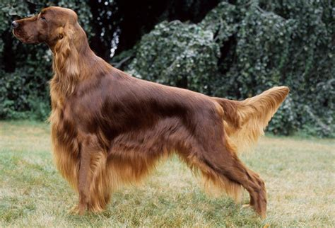 breeds of setter dog irish setter breed information