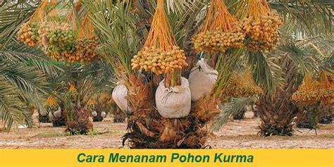 Penjual Bibit Mangga Mahatir cara menanam pohon kurma di indonesia pasarkurma