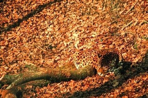 imagenes de animales jaguar 7 animales camuflados de forma asombrosa tendenzias com