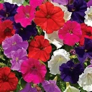 Beli Biji Bunga Petunia petunia jual bibit bunga