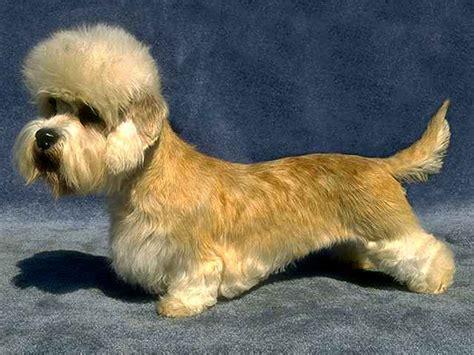 dandie dinmont terrier puppies for sale dandie dinmont terrier puppies dandie philippines dandie dinmont terrier animals