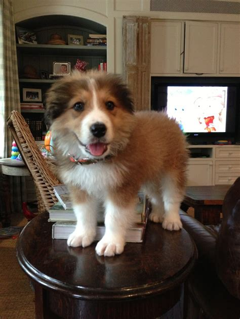 pyrenees mix puppies great pyrenees bernese mountain mix puppy puppy puppys