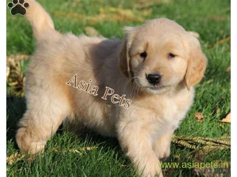 cost of golden retriever puppy in india price of golden retriever puppy in india photo