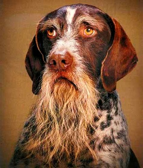 dogs with beards 25 pets with hilarious hair