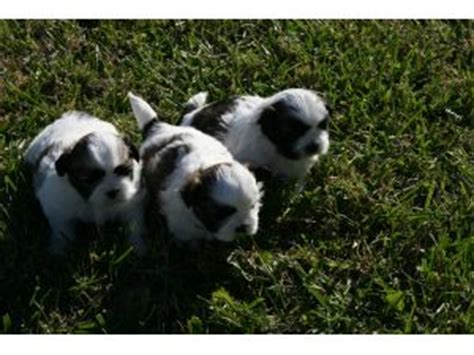 how does a shih tzu pregnancy last shih tzu puppies in arkansas