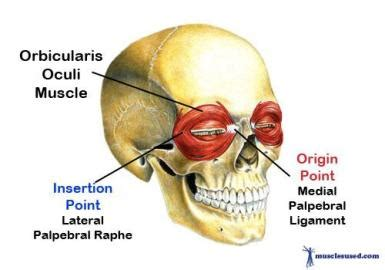Muscles of Facial Expression - Dental Hygiene 12345 with ... Frontalis Muscle Origin Insertion Action