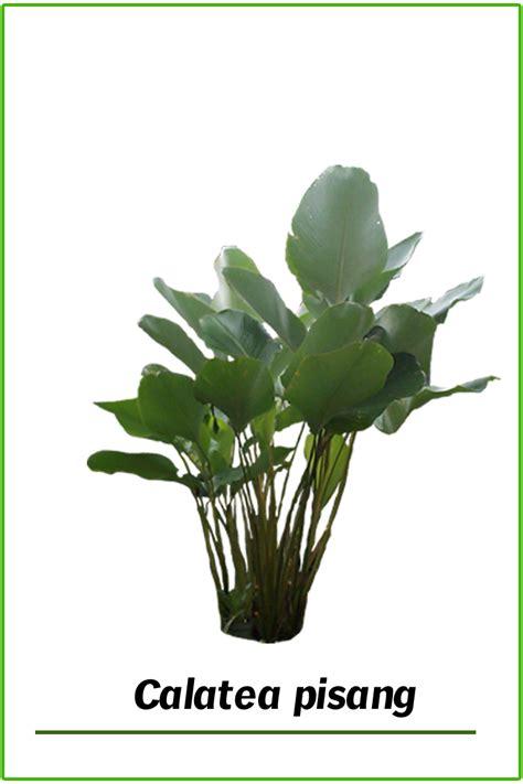 Pupuk Untuk Bunga Kamboja Bali pohon kamboja bali jual tanaman khas bali plumeria