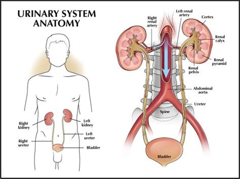 diagram of the urinary system with labels
