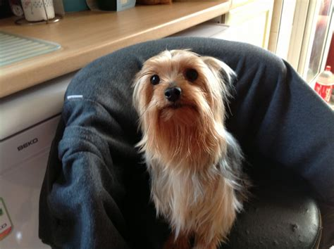 mini yorkie info miniature terrier stud leicester leicestershire pets4homes