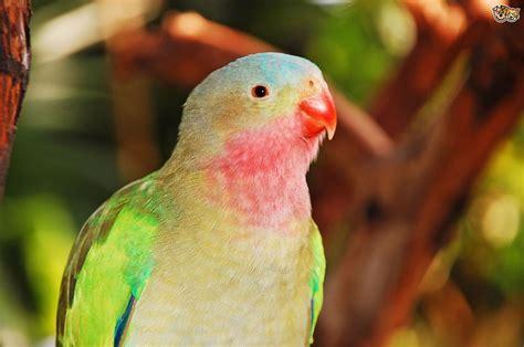 Princess Parrot   Pets4Homes