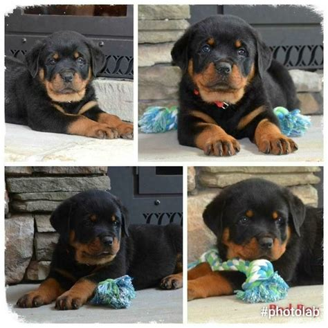 rottweiler for sale in nc 25 best ideas about rottweiler puppies for sale on german rottweiler