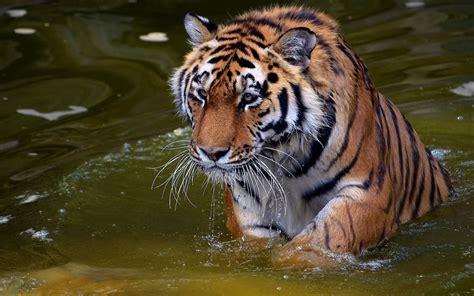 imagenes de animales salvajes en 4k fotos de tigres en hd imagenes de pantheras tigris