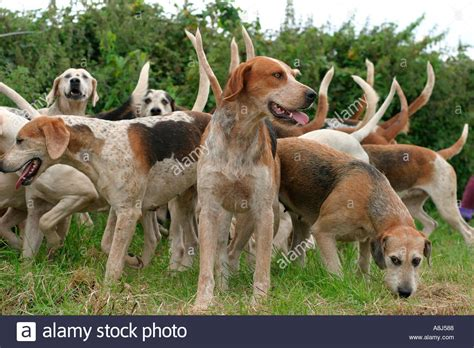 how to a hound to hunt pack of fox hounds dorset uk stock photo royalty free image 2237831 alamy