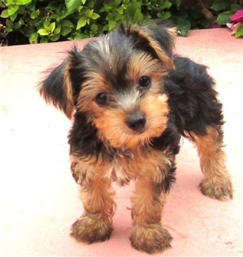 i want a yorkie puppy 25 best ideas about terrier puppies on puppies