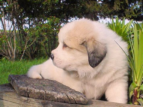 haircuts for great pryneese dogs great pyrenees haircut newhairstylesformen2014 com