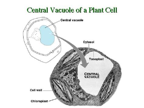 diagram of vacuole vacuole diagram plant cell choice image how to guide and