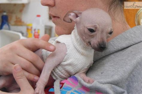 xoloitzcuintli puppies xoloitzcuintli puppy for sale near new hshire bd0c9be8 42a1