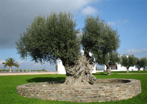 olive tree file olive tree jpg wikimedia commons
