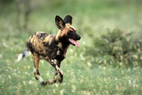 dogs in africa pictures diet cycle facts habitat behavior