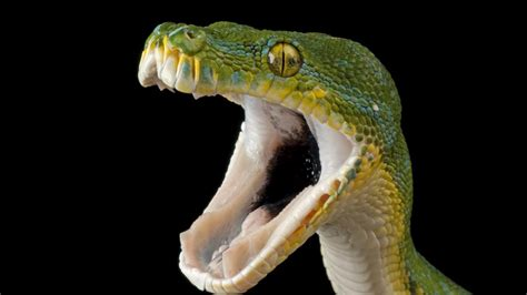 imagenes asombrosas de serpientes reportajes y fotograf 237 as de serpientes en national geographic