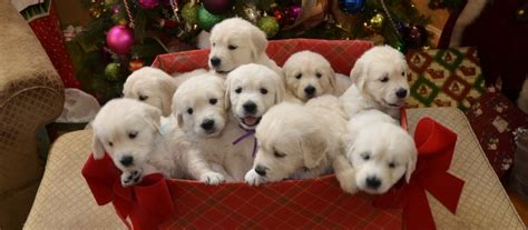 golden retriever puppies white golden retriever puppies white golden retriever for sale dedicated