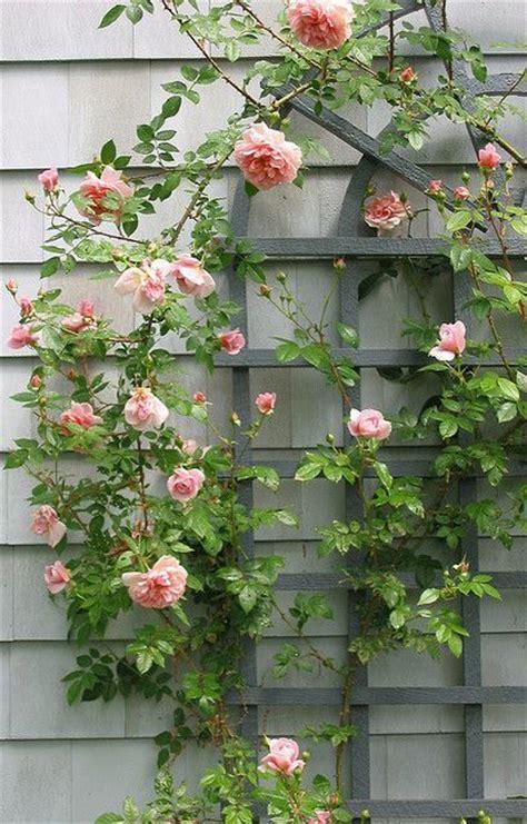 trellis roses growing with plants trellis through the garden