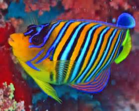 pictures of colorful fish the coral reef royal angelfish k