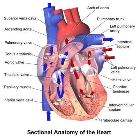 sectional anatomy of the heart heart anatomy sectional view anatomy note