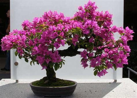 Bunga Bali Kembang Matahari 7 cara menanam bunga kertas bougenville dalam pot