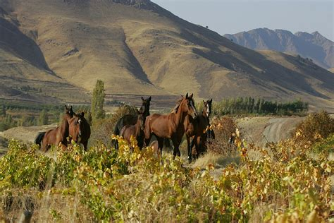 ziegen beim decken iran pferde der erde e v