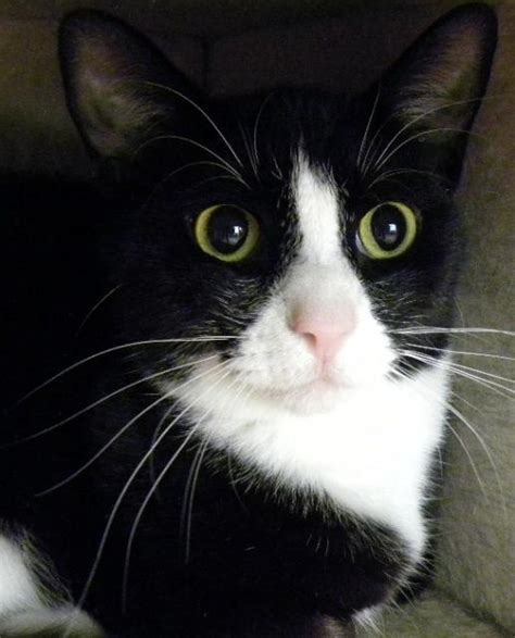 black and white breeds black and white cat breeds www imgkid the image kid has it