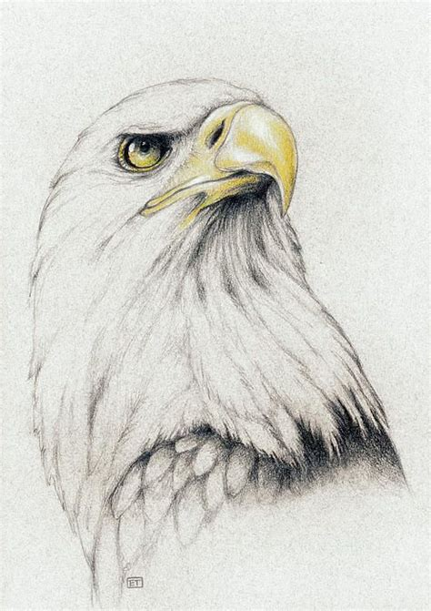 Bald Eagle Drawing Pictures