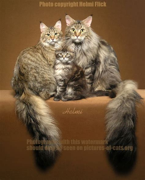 chats maine coon images  pinterest