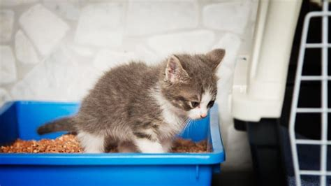 how to litterbox a how to potty a cat needs these 4 effective but simple steps tinpaw