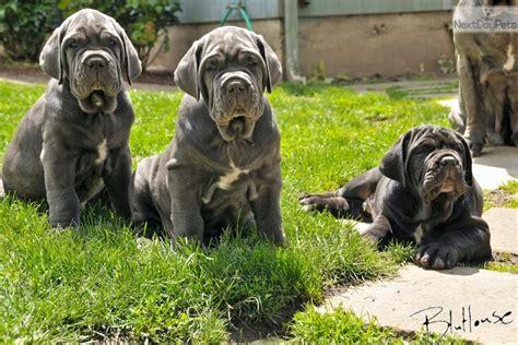 mastiff puppies oregon puppy mastiff for sale in oregon breeds picture