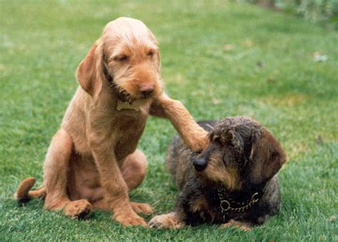 wirehaired vizsla puppies wirehaired vizsla puppies uk animals more vizsla puppies wirehaired