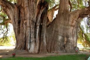 Jobs Zion National Park by Arbol Del Tule Der Gr 246 223 Te Baum Der Welt Bild Amp Foto